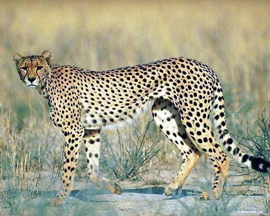 leopard og gepard