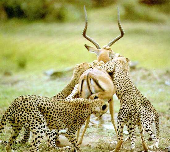 hvor hurtigt løber en leopard