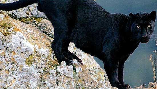 gensyn med de sorte pantere