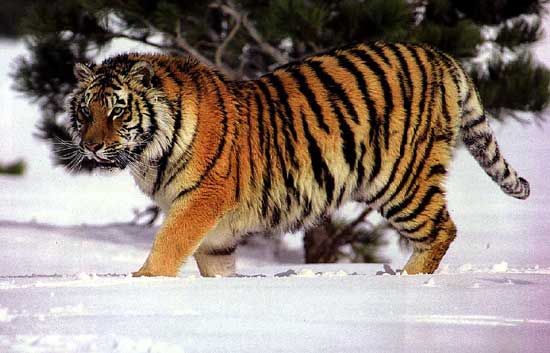 Den Sibiriske Tiger